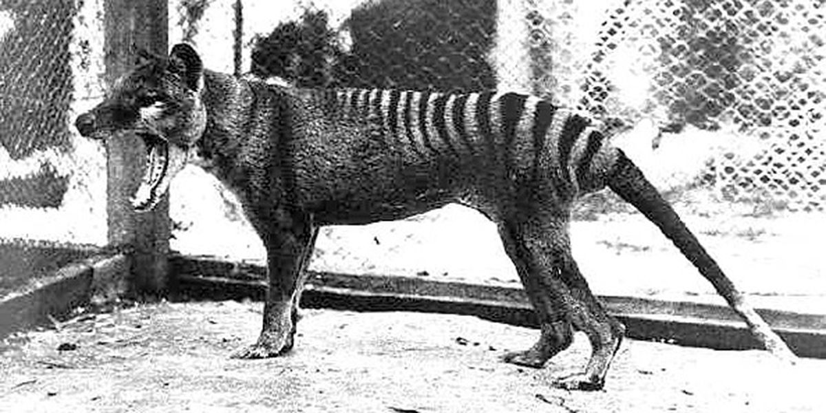 Sightings of Tasmanian tiger reported: Australian government