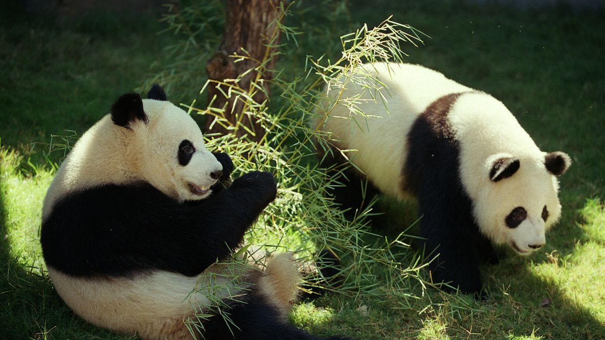 Zoo Atlanta streams Panda Cam, more things to do at home