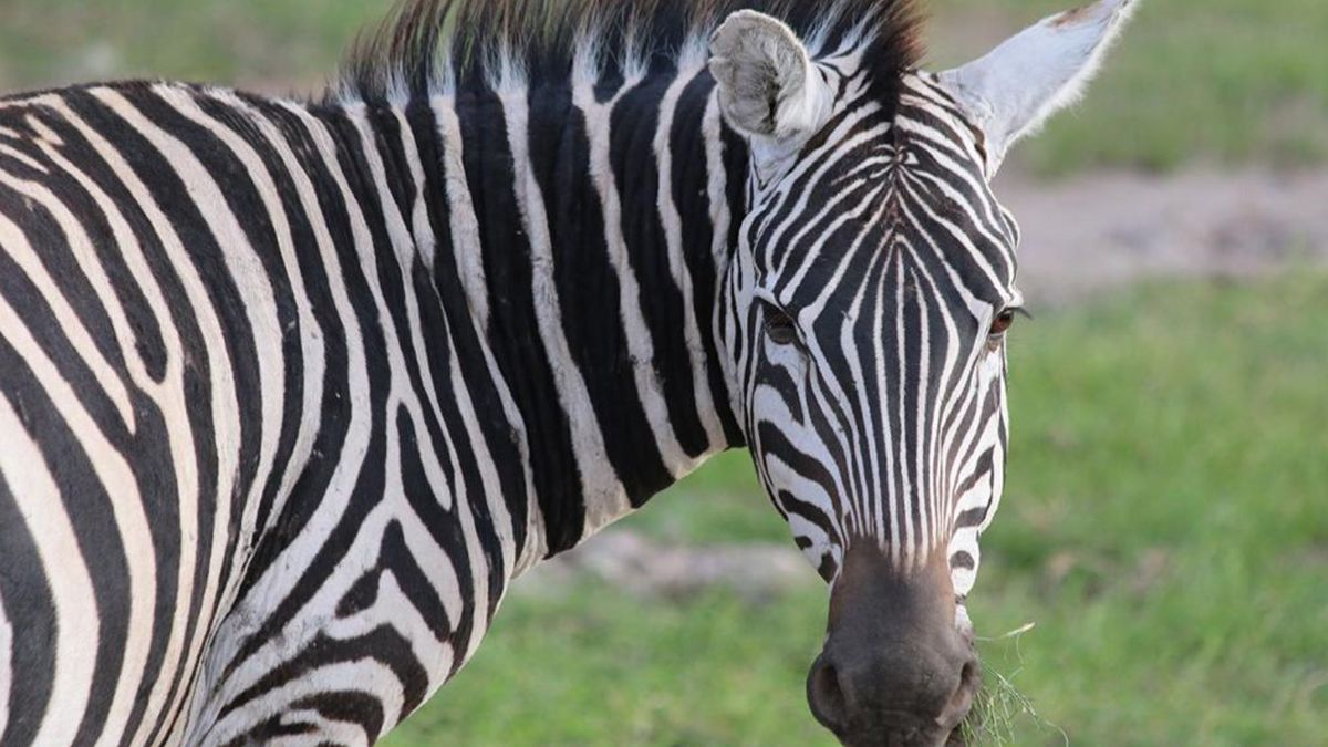 Sheriff's office searching for person who slapped zebra on video at Georgia safari