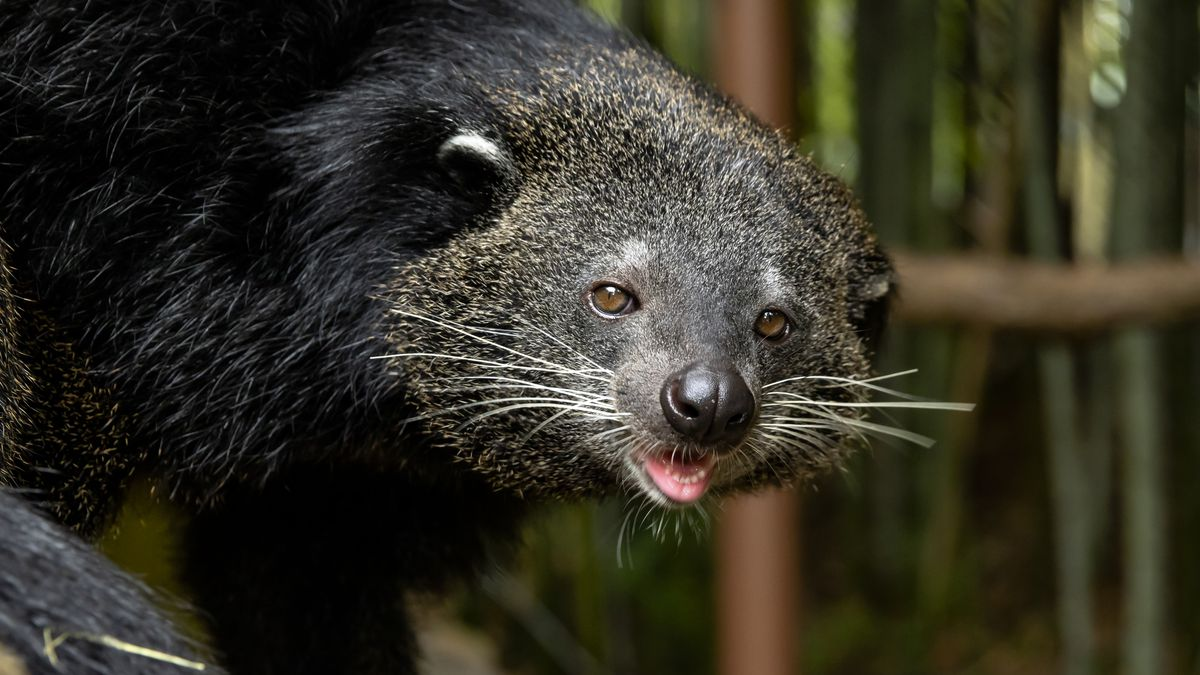 Is it a bear? Is it a cat? New animal that smells like popcorn arrives at Zoo Atlanta