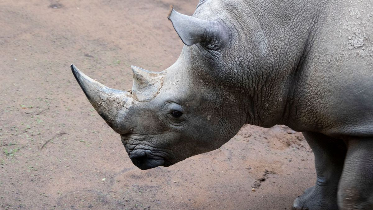 Zoo Atlanta welcomes new white rhino