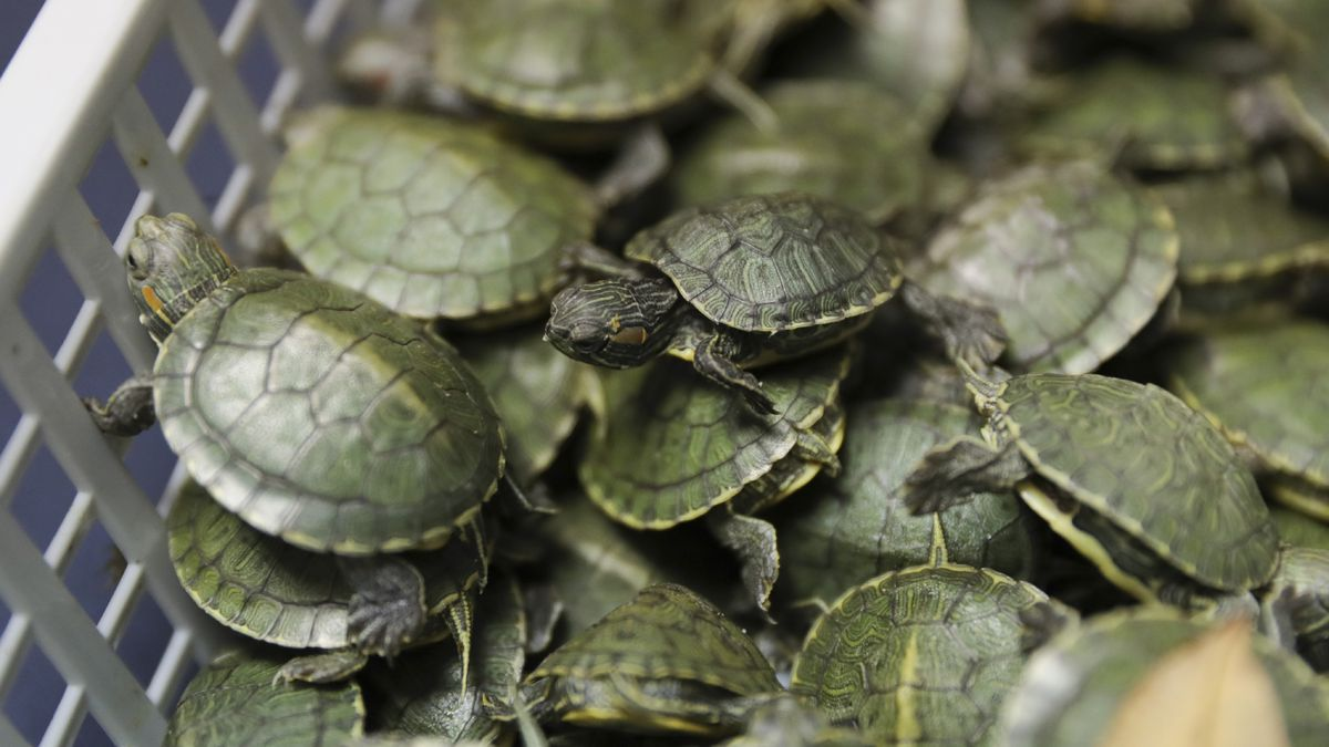 Trafficking ring involving thousands of turtles uncovered by wildlife officials
