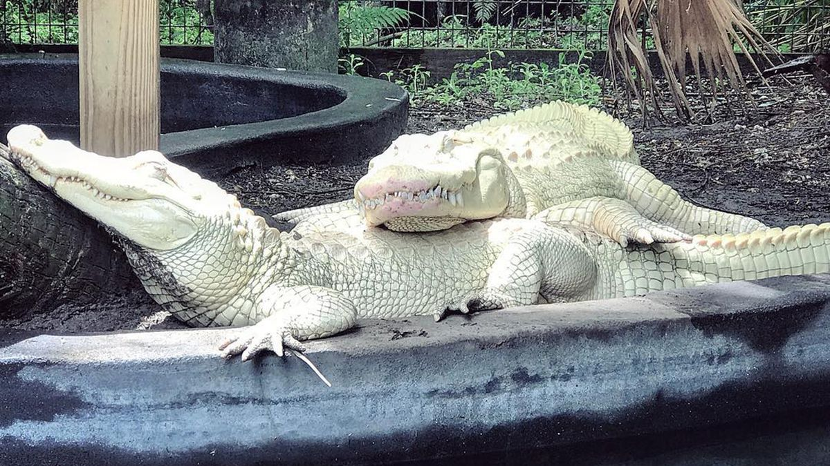 Gators produce world's first successful batch of albino alligator eggs in Florida