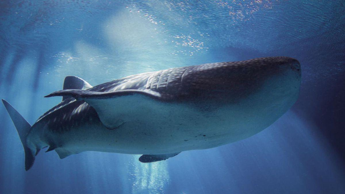 Georgia aquarium's largest female whale shark dies